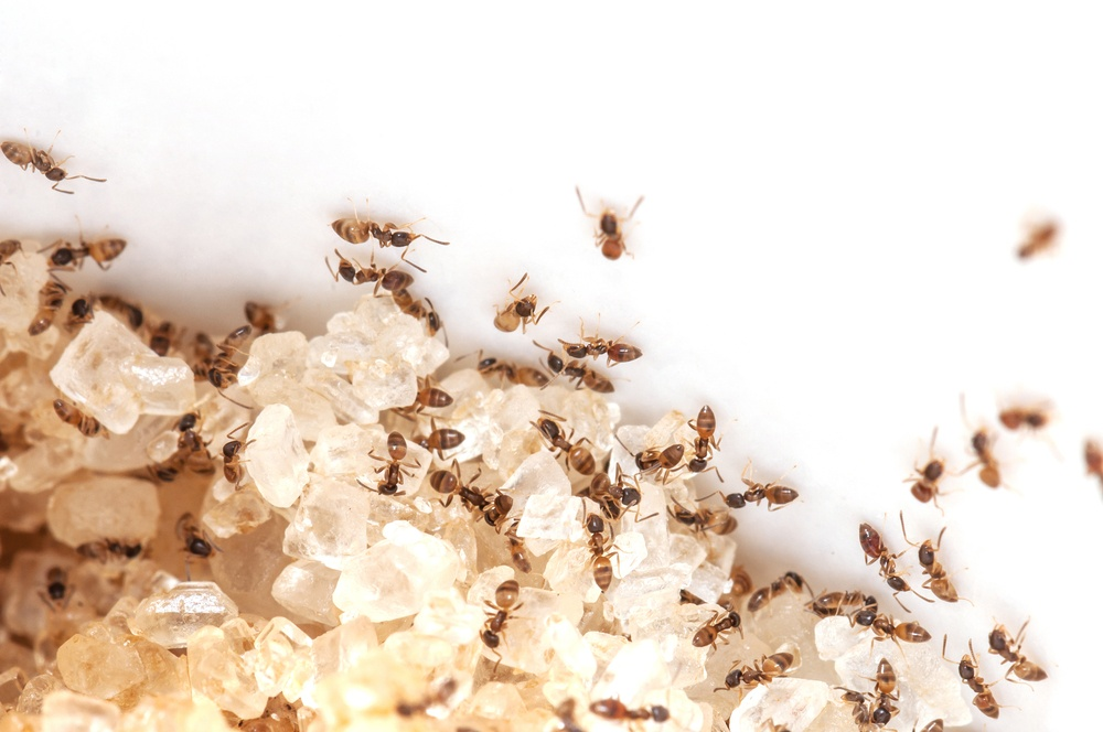 A group of ants are working in a lot of sugar on white background.