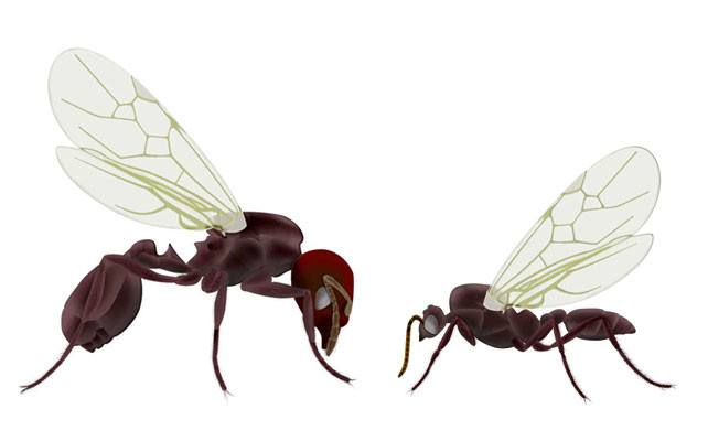 Drawing two flying ants on white background