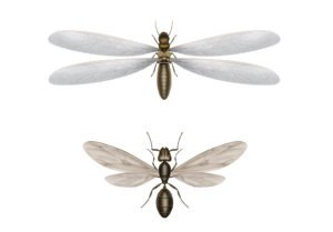Illustration of flying termite and flying ant.