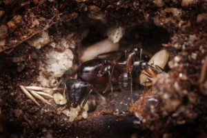 Ant queen with workers and eggs.