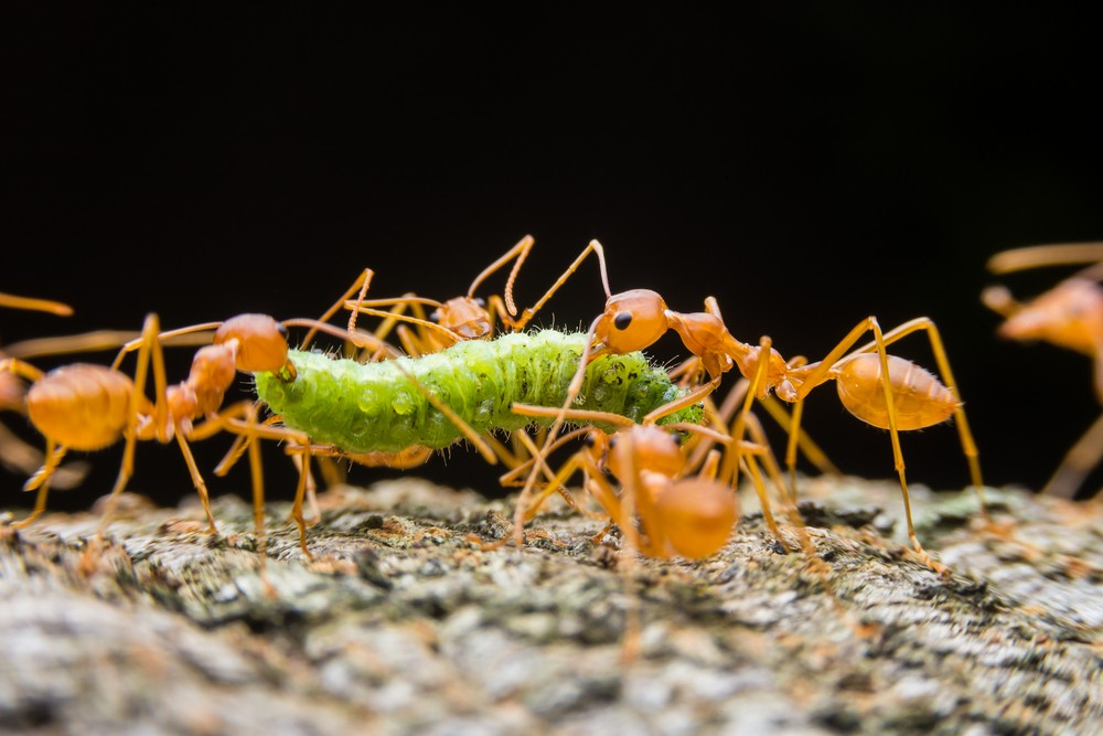 Ants tearing their prey apart on the ground.