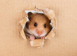 Little hamster looking up in cardboard side torn hole.