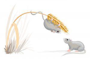 Mouse on a corn stalk.