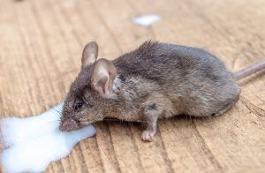 Mouse is eating bait on wooden ground.