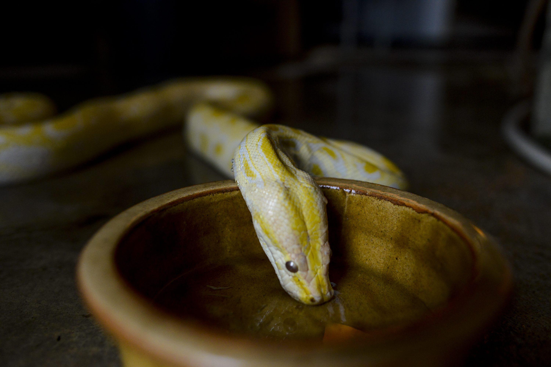 Albino python drinking water