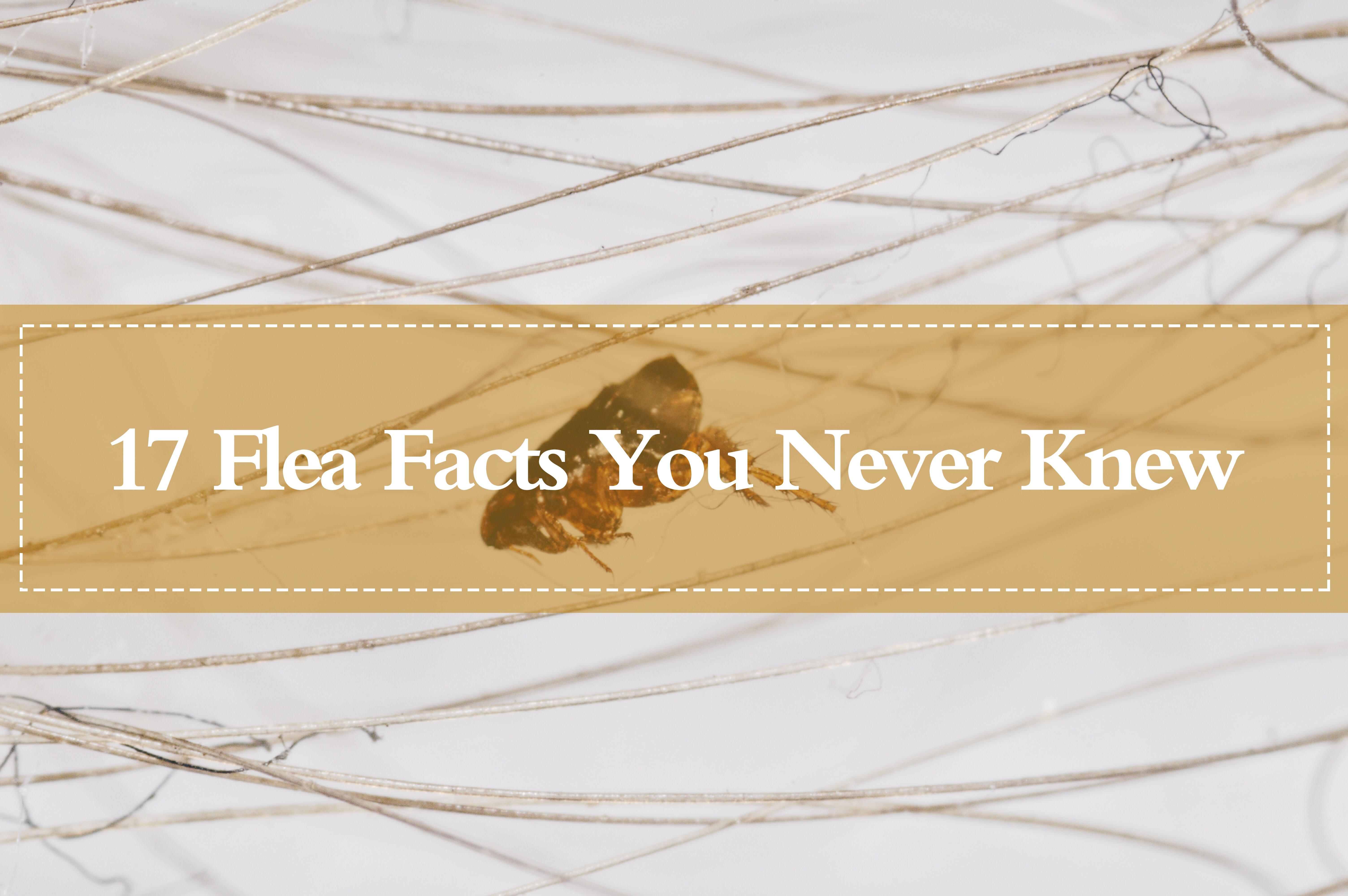 17 Flea Facts