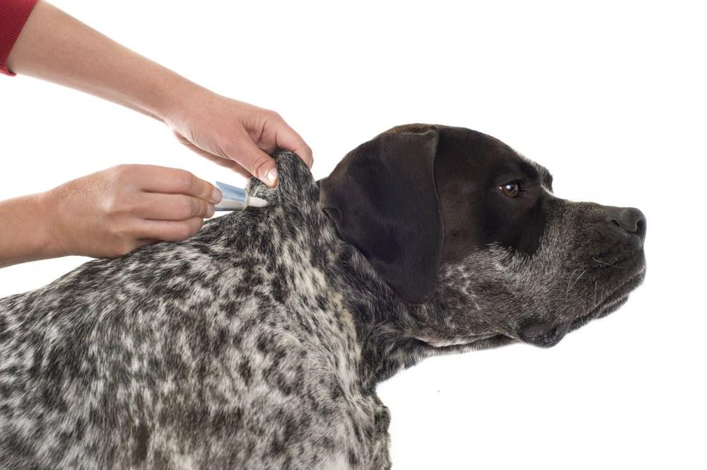 Putting flea prevention for a purebred german pointer dog.