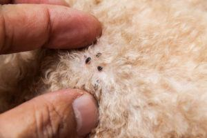Closeup of mite and fleas infected on dog fur, sucking its blood.