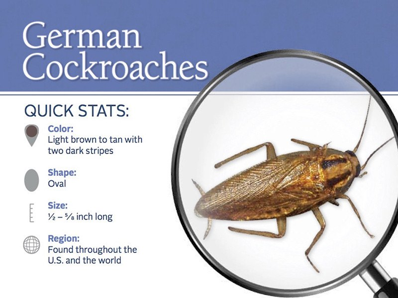 4 Killer Methods to Get Rid of German Cockroaches: Which Commercial ...
