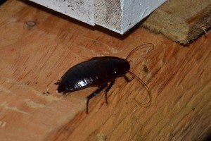 Palmetto bug in house