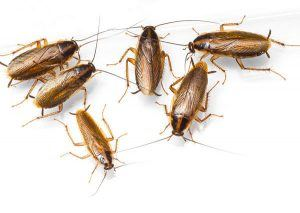 Several young roaches on white backdrop.