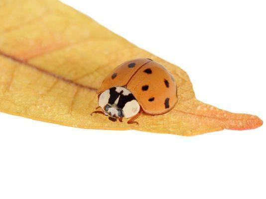Asian beetle isolated on yellow leaf.