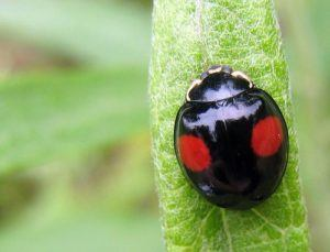 A black ladybug with red spots on a plant.