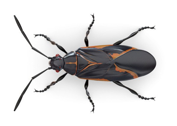 How To Get Rid Of Boxelder Bugs Indoors Or Outdoors Pestwiki