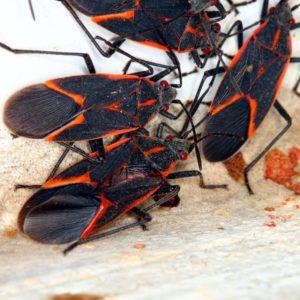 Several boxelder bug on the ground.