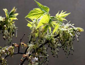 Boxelder tree with flowers in Spring.