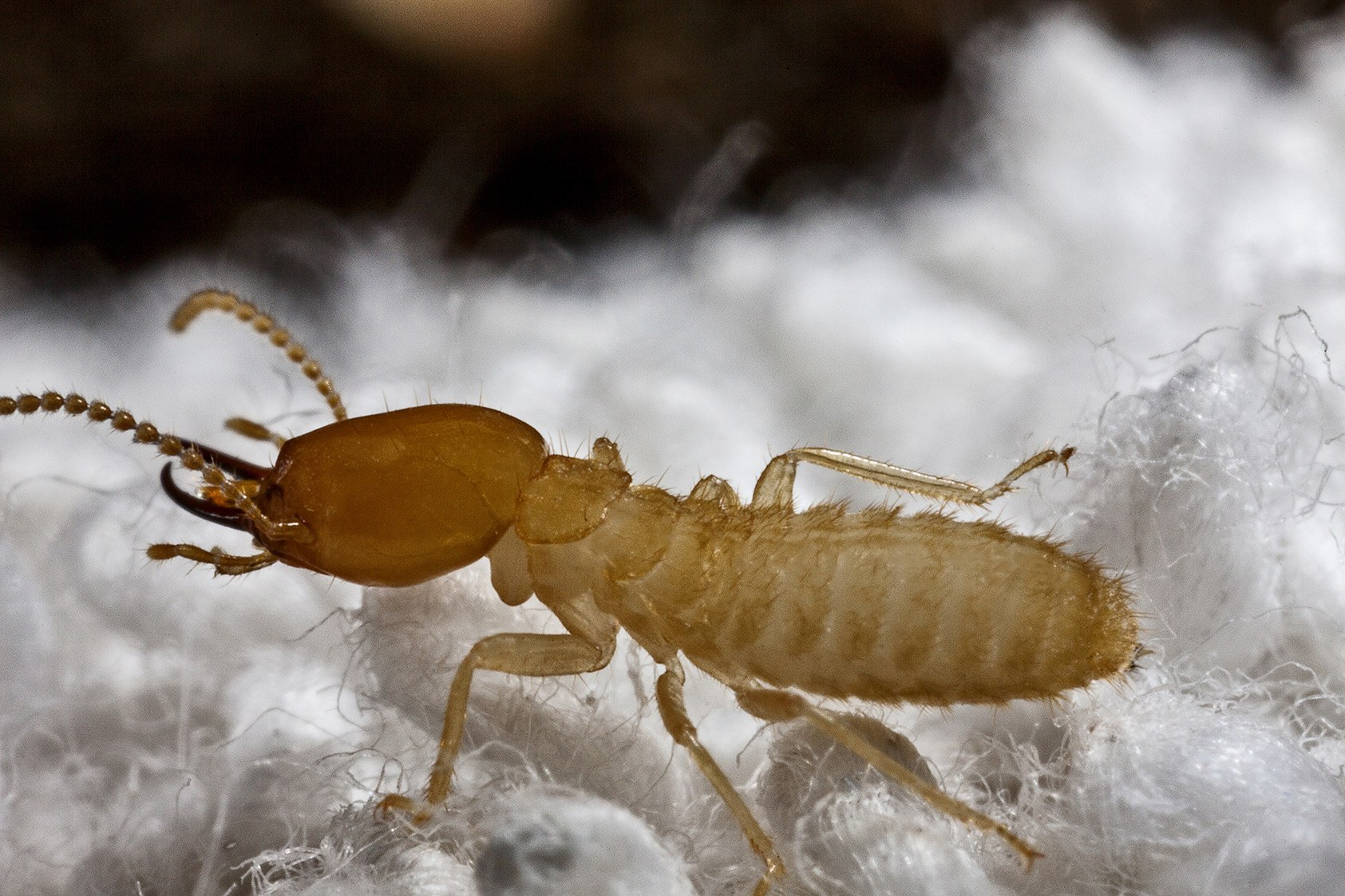 Close up of Formosan Termite.