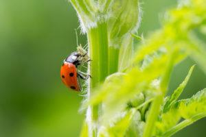 Close-up of a ladybird eating an aphid on the plant in the nature.