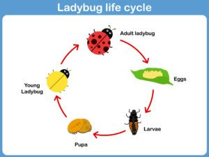 A vector picture of the life cycle of lady bug.