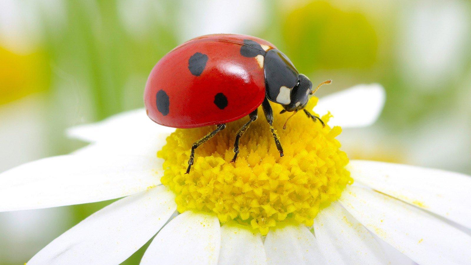 Ladybug sits on a flower petal.