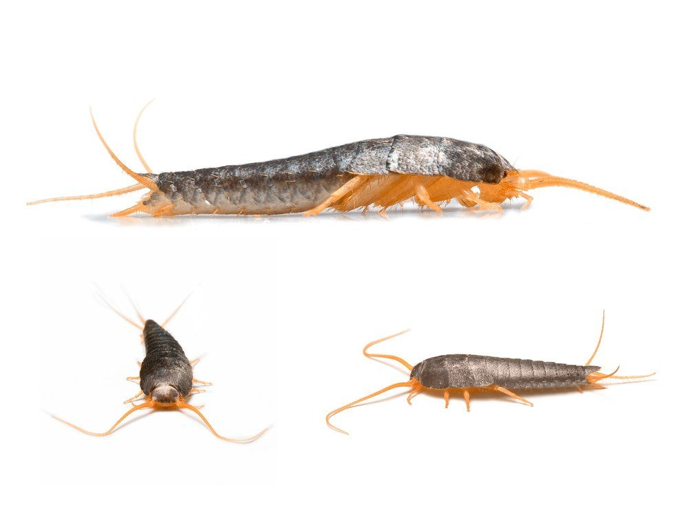 Three silverfishes with different postures on the whtie.