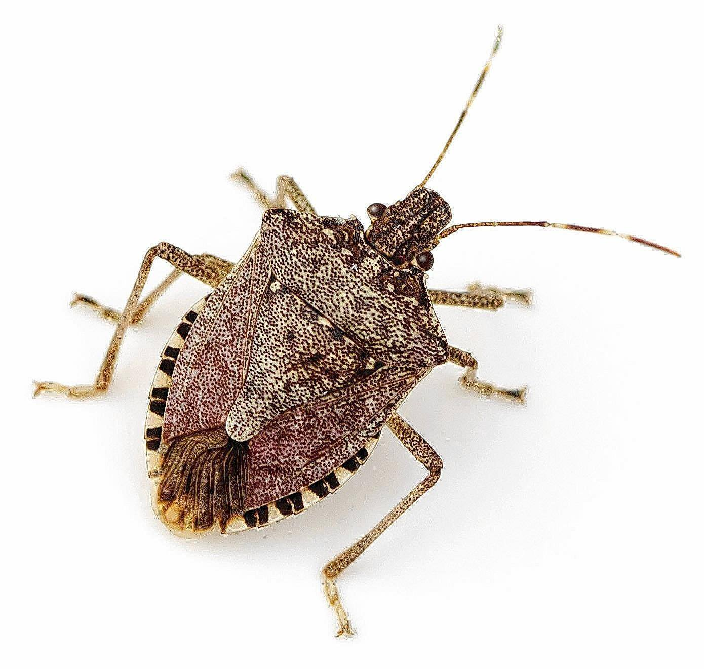 Stink bug isolated on the white.