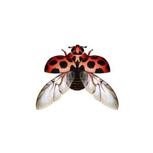 The picture shows the wing under the shell of a red with black spots ladybug.