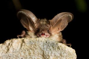 A grey bat is resting on the stone, showing its teeth.