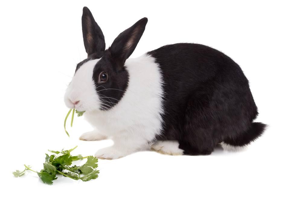 Dutch dwarf rabbit is eating cilantro, isolated on white background.