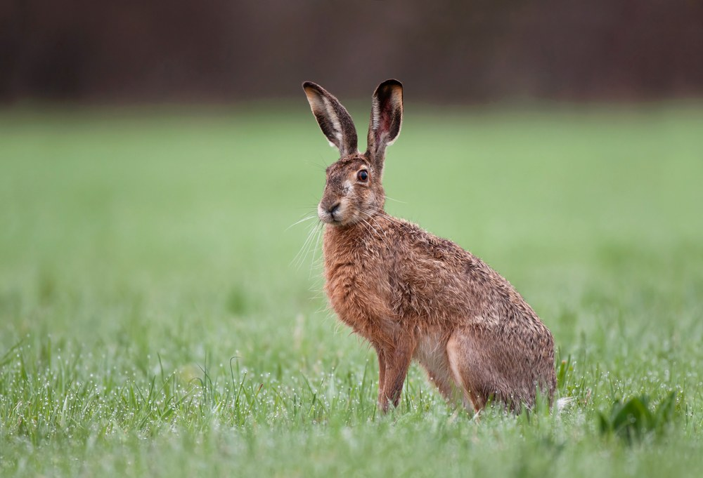 Wild brown hare with big ears sitting in grass.