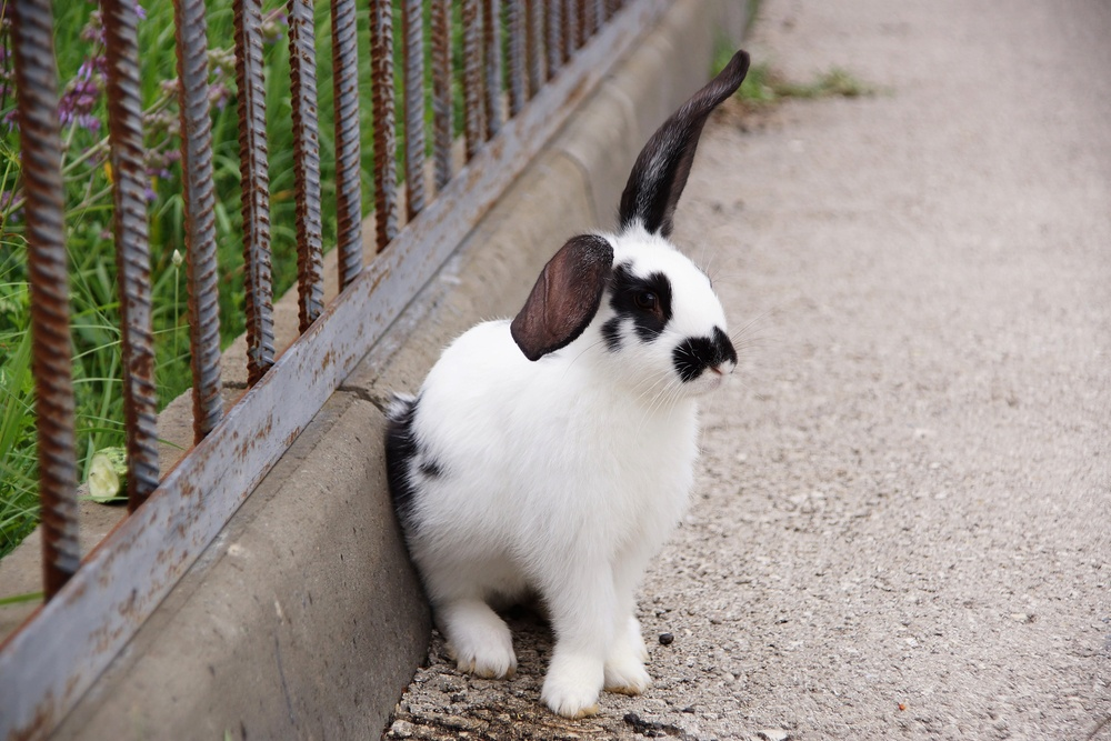A black-and-white rabbit sits at a fencing.