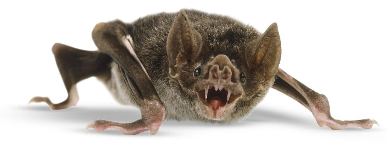 Vampire bat isolated on the white.