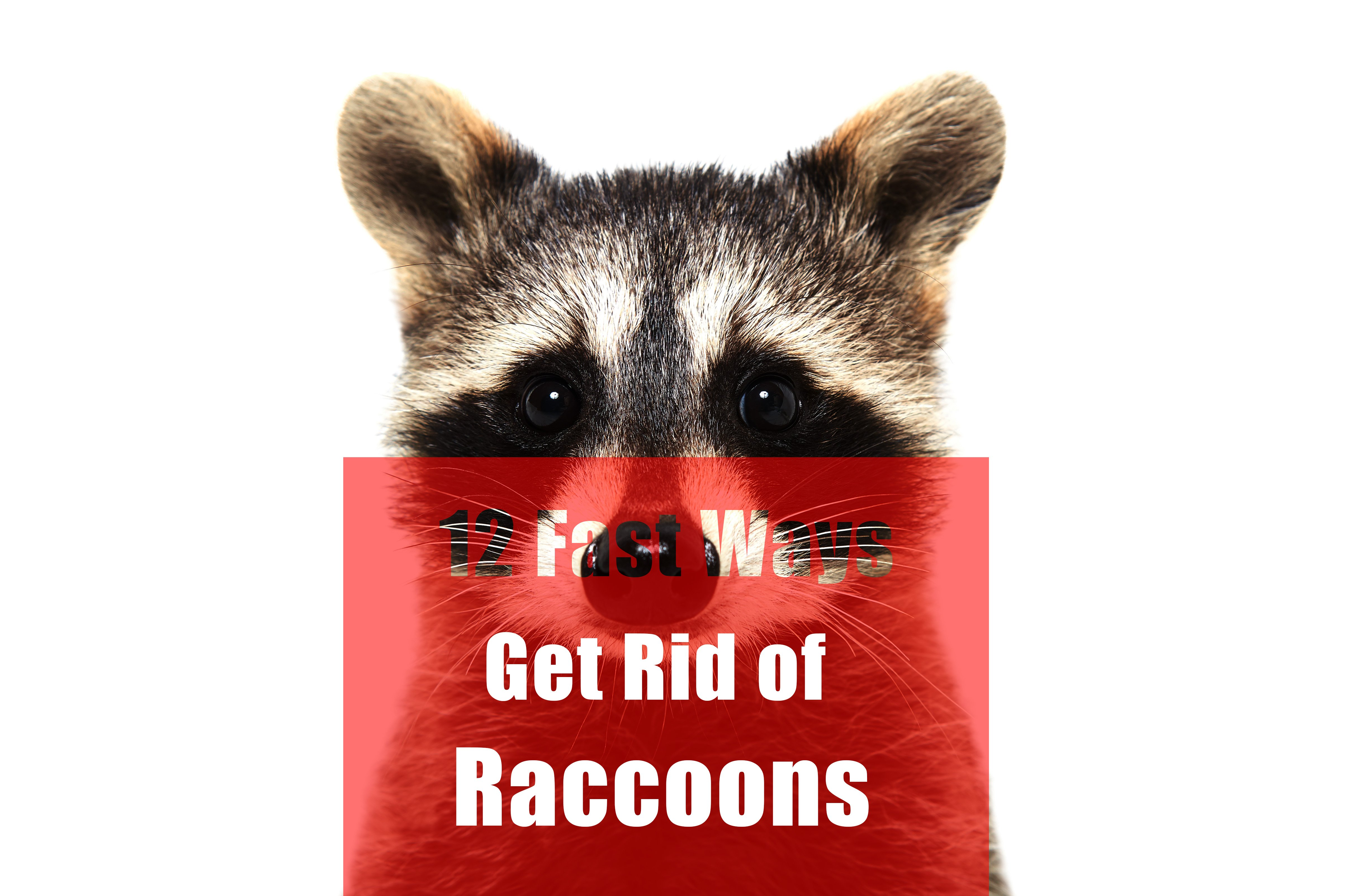12 fast ways to get rid of raccoons (in attic, yard