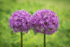 A pair of giant allium on green background.