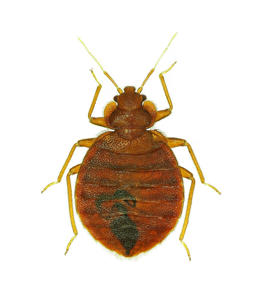 Bed bug isolated on white background.