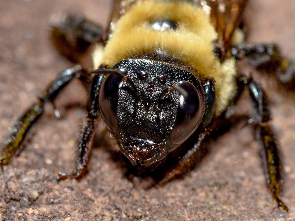 Close up of carpenter bee's head.
