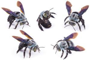 Different vision of carpenter bees on white.