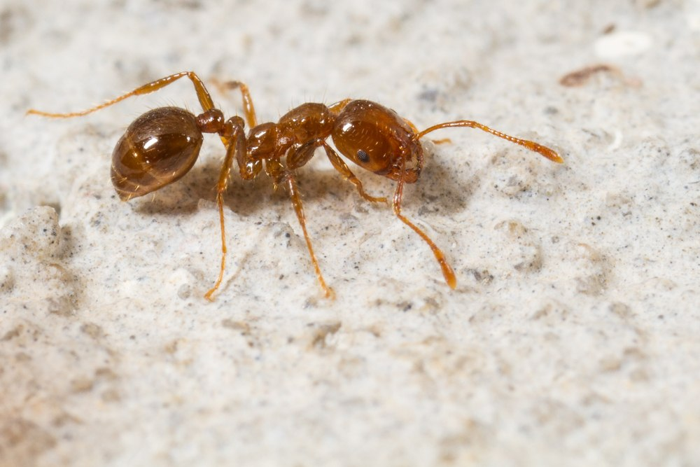 A fire ant on the white stone-like ground.