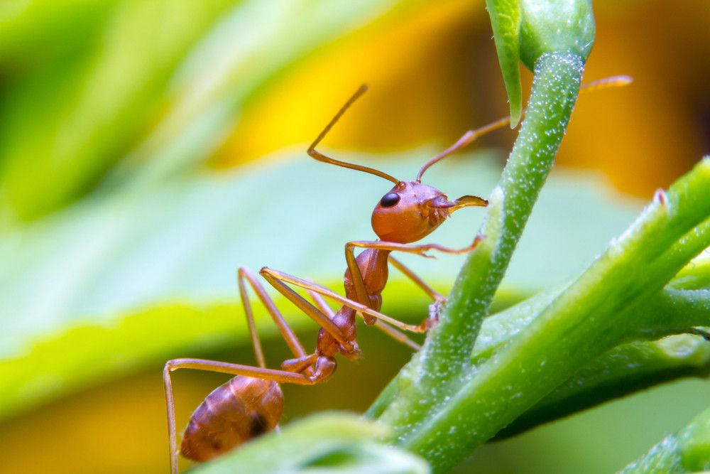 Red fire ant worker on tree, closeup.