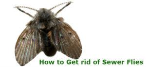 """A drain gnat on white background, with the words """"How to Get rid of Sewer Flies"""" under the wing."""
