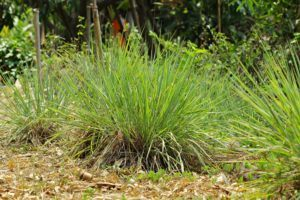Lemongrass in the nature or yard.