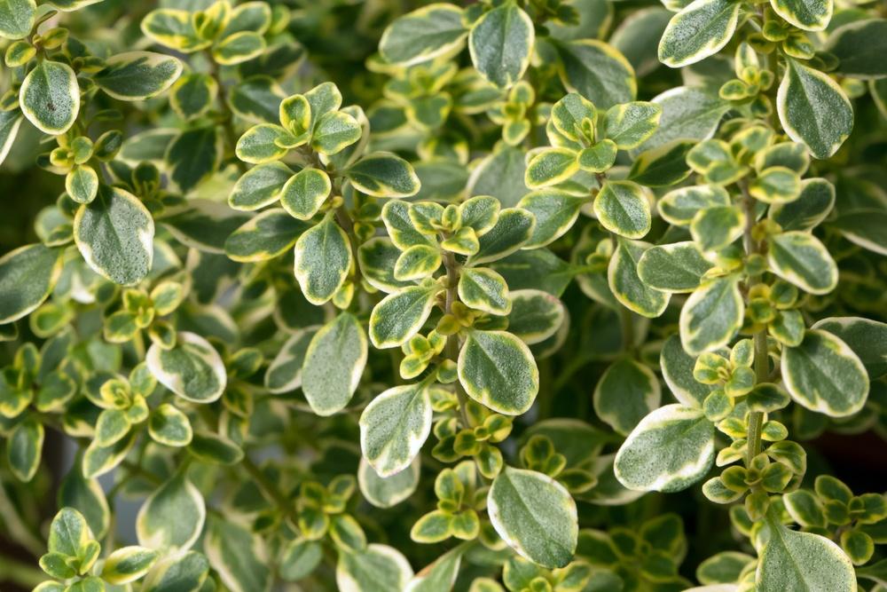Lemon thyme's little leaves.