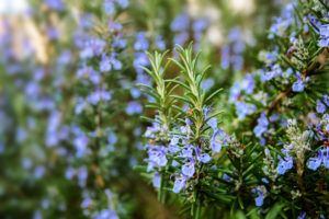 Blossoming rosemary plants in the garden, selected focus, narrow depth of field.