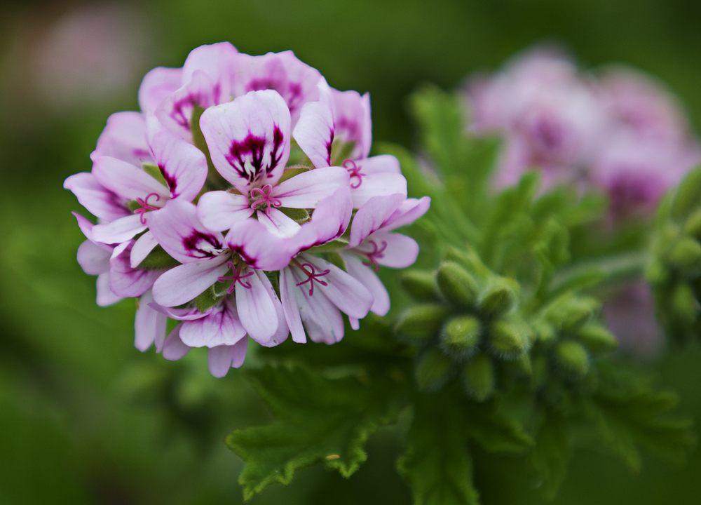 Flower head of sweet-scented geranium.