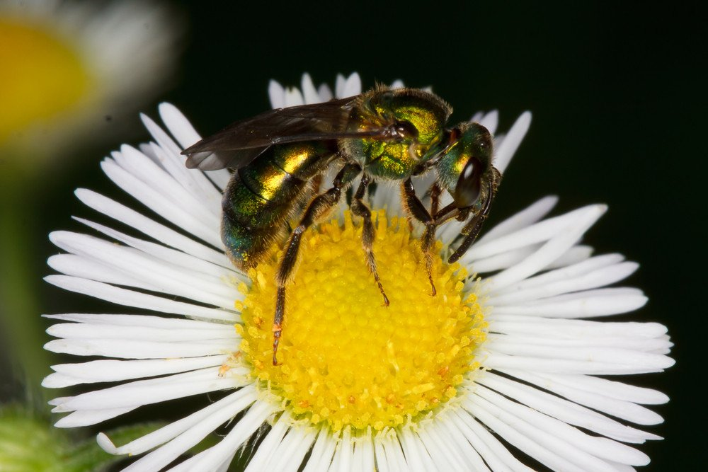 Female sweat bee is collecting pollen from a white flower.
