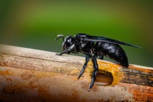 Tropical carpenter bee out of the hole created by the bamboo.