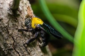 Carpenter bee in the nature or in the garden.