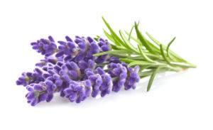Lavender flowers in closeup.