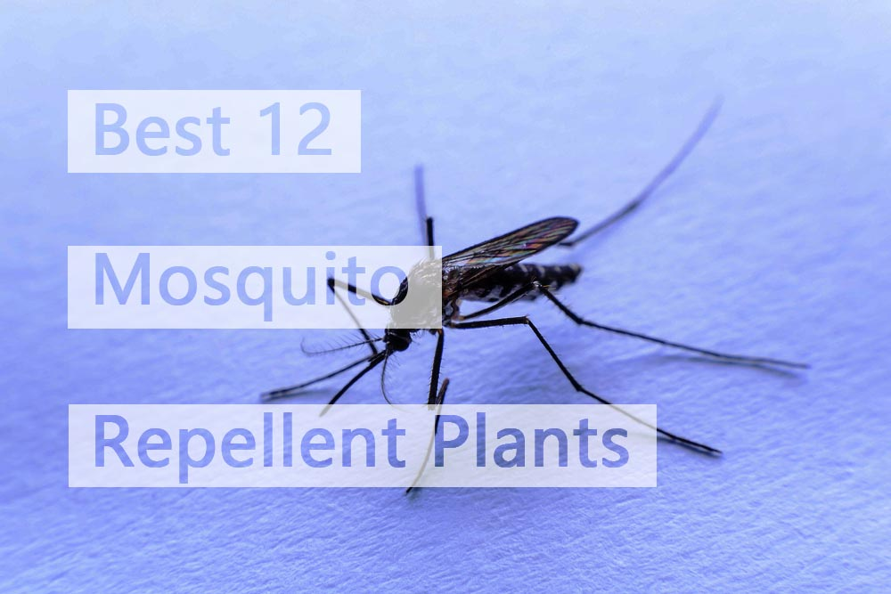 Top 17 Plants That Repel Mosquitoes Effectively