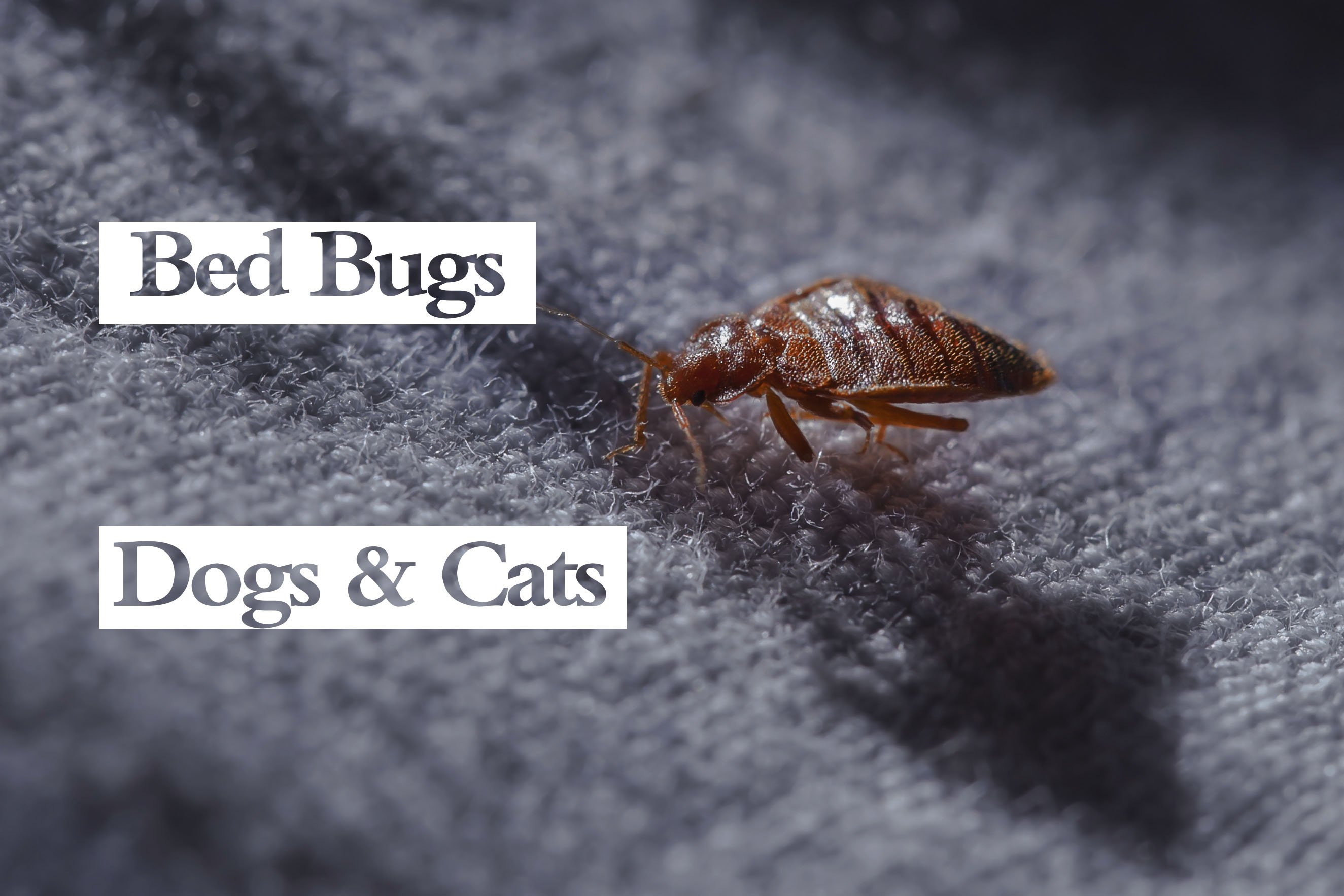 Do Bed Bugs Bite Dogs Cats Can Pets Carry Bed Bugs Pest Wiki